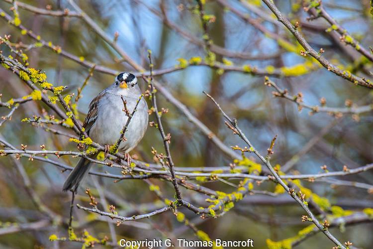 The sparrow jumped up from under a bush as we walked by and looked intently at us.  Quickly it decided were were not a threat and dropped back to the ground to feed. (G. Thomas Bancroft)