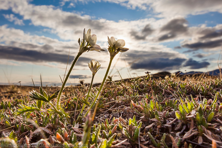 National Petroleum Reserve Alaska photos:Wind flower on tundra, Brooks Range, National Petroleum Reserve, Alaska. (Patrick J Endres / AlaskaPhotoGraphics.com)