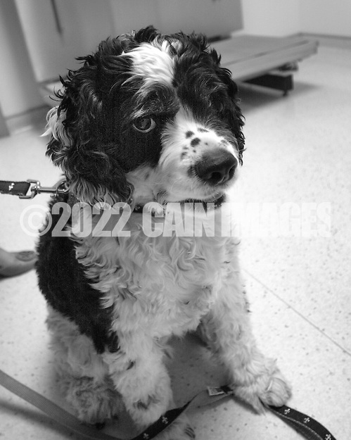 JAMISON, PA - MARCH 27: Cooper the cocker spaniel waits in the exam room scale during his trip the the veterinarian March 27, 2014 in Jamison, Pennsylvania. (Photo by William Thomas Cain/Cain Images) (William Thomas Cain/Cain Images)
