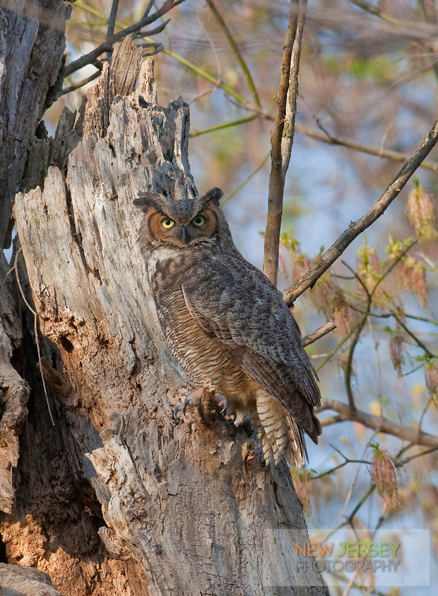 Great Horned Owl, Burlington County, New Jersey (Steve Greer / SteveGreerPhotography.com)