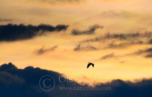 Hadada Ibis (Bostrychia hagedash) flying in Virunga NP, Rwanda (Ole Jørgen Liodden)