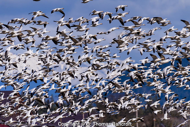A large flock of snow geese take off in unison and fly a loop around Hayton Reserve in Skagit County. (G. Thomas Bancroft)