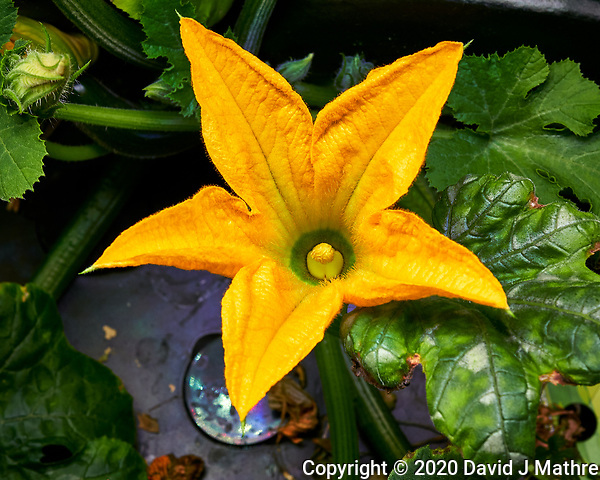 Male Zucchini Flower. Image taken with a Leica TL-2 camera and 35 mm f/1.4 lens (ISO 320, 35 mm, f/8, 1/50 sec). (DAVID J MATHRE)