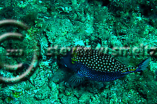 Spotted Boxfish Male, Ostracion meleagris, Maui Hawaii (Steven Smeltzer)