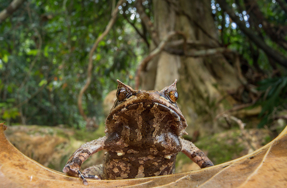 Palawan horned frog, Megophrys ligayae, an endangered species from the Philippines (Robin Moore)