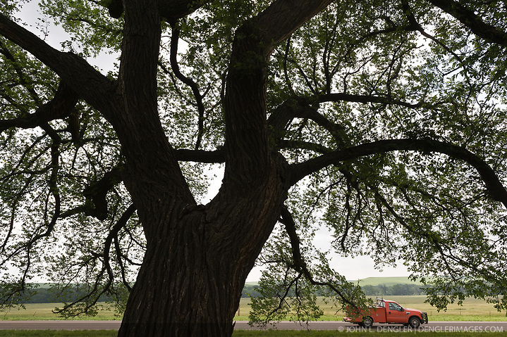A large American elm tree provides shade at the Tallgrass Prairie National Preserve as a pickup truck passes by on Kansas State Highway 177 near the towns of Strong City and Cottonwood Falls. Highway 177, a National Scenic Byway, passes through the heart of the Flint Hills. Less than four percent of the original 140 million acres of tallgrass prairie remains in North America. Most of the remaining tallgrass prairie is in the Flint Hills in Kansas. Tallgrass Prairie National Preserve is the only unit of the National Park Service dedicated to the preservation of the tallgrass prairie ecosystem. The Tallgrass Prairie National Preserve is co-managed with The Nature Conservancy. (John L. Dengler)