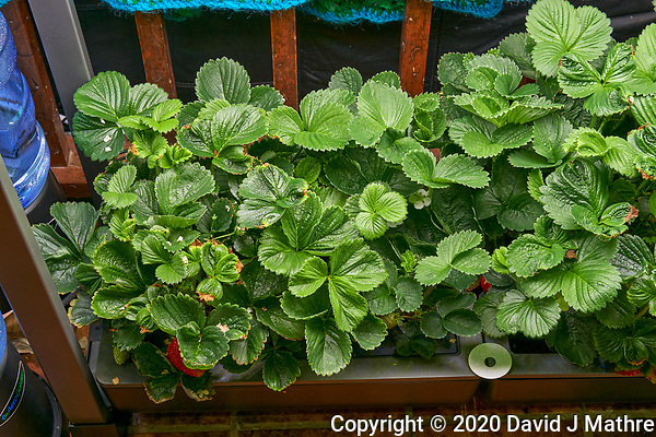 AeroGarden Farm 07-Left. Strawberry Plants (85 days). Image taken with a Leica TL-2 camera and 35 mm f/1.4 lens (ISO 640, 35 mm, f/8, 1/50 sec). (DAVID J MATHRE)