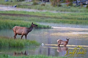 "Elk Cow and calf crossing Madison River in  Yellowstone National Park (Daryl Hunter's ""The Hole Picture""/Daryl L. Hunter)"