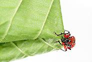 [captive] Hazel Leaf-roller Weevil (Apoderus coryli) | Das Weibchen des Haselblattrollers (Apoderus coryli, Familie der Dickkopfrüssler (Attelabidae)) schafft es völlig alleine, das doppelt gelegte Haselblatt von der Spitze her eng aufzurollen. Sie setzt dabei alle sechs Beine und ihre Mundwerkzeuge geschickt ein. Die Klauen an den Beinenden geben ihr Halt, während sie durch Beißen von kleinen Löchern den bereits geschafften Teil der Rolle sichert. (Solvin Zankl)