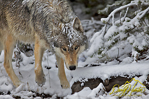 Snow covered Grey Wolf, Yellowstone National Park (© Daryl L. Hunter - The Hole Picture/Daryl L. Hunter)