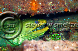 Green Moray Eel in Oro Verde wreck, Gymnothorax funebris, Ranzani, 1840, Grand Cayman (Steven Smeltzer)