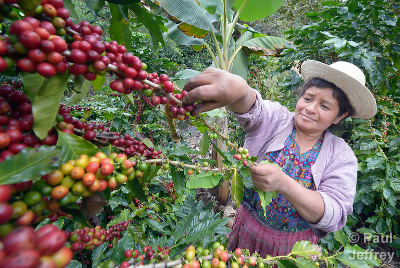 Imelda Balan, a Kakchiquel Maya woman, picks ripe coffee beans in San Martin Jilotepeque, Guatemala. Coffee rust, a terrible plant fungus, has affected coffee farms throughout the region. This farm used heavy spraying of chemicals to control the fungus. (Paul Jeffrey)