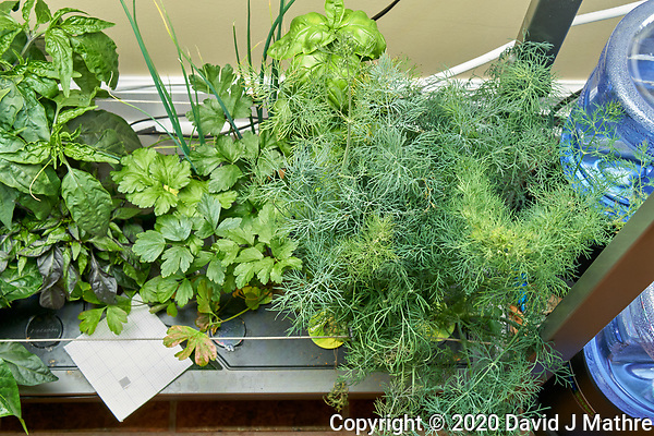 AeroGarden Farm 02-Right. Herb Plants - Basil, Dill, Parsley (127 days). Image taken with a Leica TL-2 camera and 35 mm f/1.4 lens (ISO 640, 35 mm, f/8, 1/30 sec). (DAVID J MATHRE)