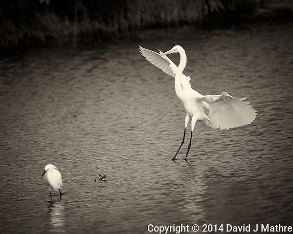 Great Egret Coming in to Visit a Snowy Egret. Merritt Island National Wildlife Refuge in Florida. Image taken with a Nikon Df camera and 300 mm f/4G lens (ISO 140, 300 mm, f/4, 1/1250 sec). Raw image processed and converted to B&W with Capture One Pro 7. (David J Mathre)