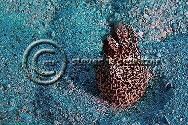Freckled Snake Eel (Steven Smeltzer)