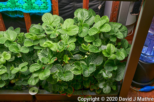 AeroGarden Farm 07-Right. Strawberry Plants (85 days). Image taken with a Leica TL-2 camera and 35 mm f/1.4 lens (ISO 640, 35 mm, f/8, 1/50 sec). (DAVID J MATHRE)