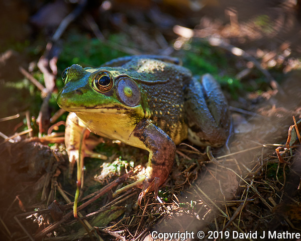 Kermit in the Grass. Image taken with a Nikon D810a camera and 70-300 mm VR lens (DAVID J MATHRE)