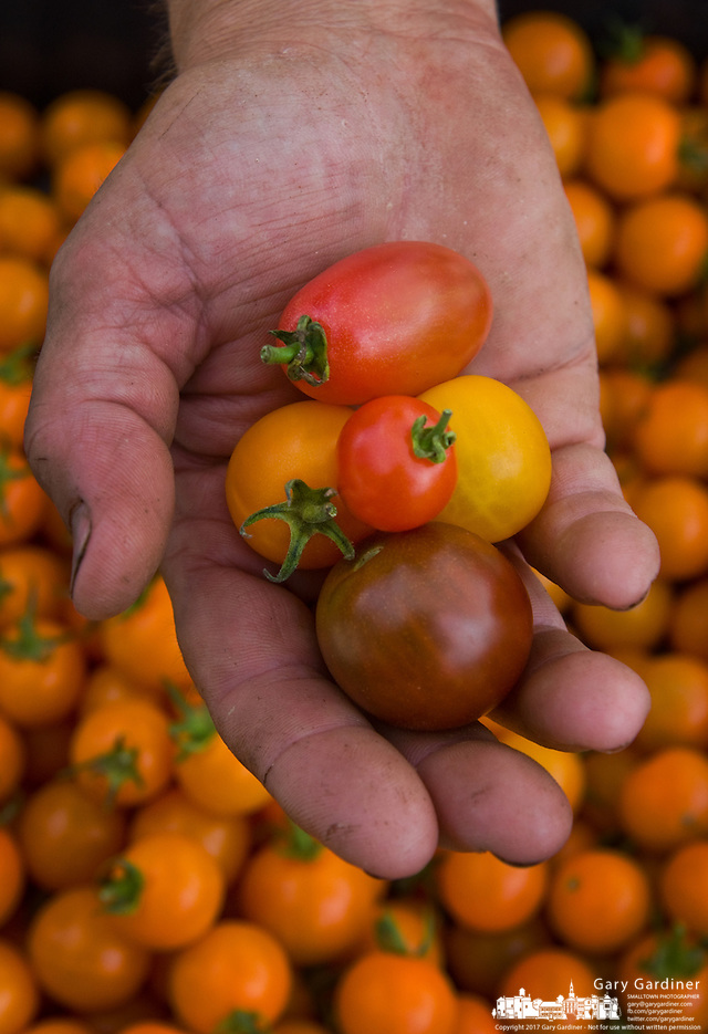 A farmer holds a tomatows grown on his farm. (Gary Gardiner/SmallTown Stock)