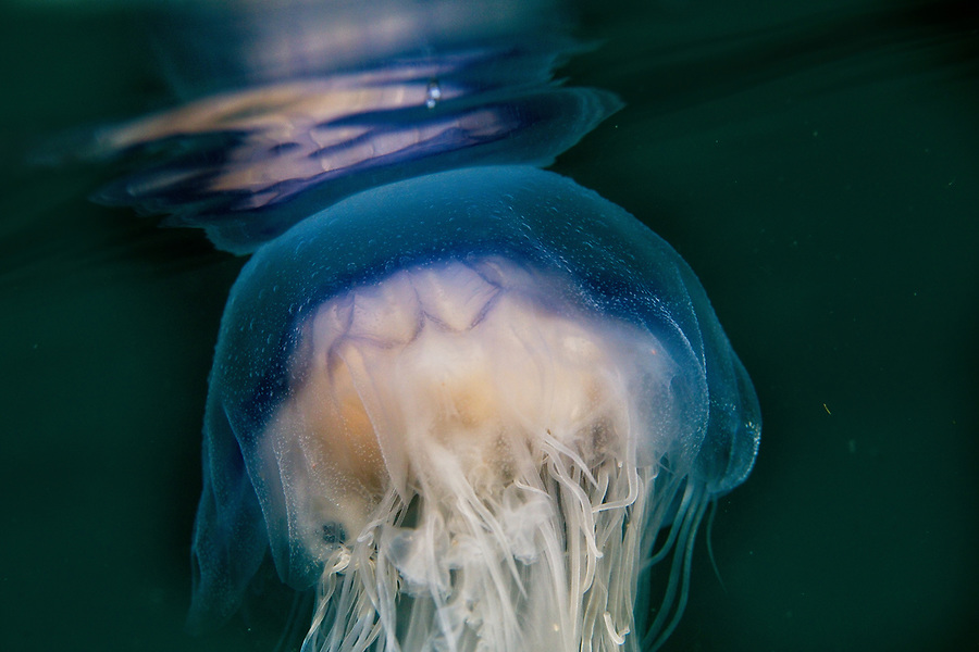 Blue Jellyfish 2020 Image from the Below the Skye Line project. Photographer: Gill Williams Post Production: Geraint Ashton Jones https://www.belowtheskyeline.com (Below the Skye Line / © Gill Williams & © Geraint Ashton Jones)