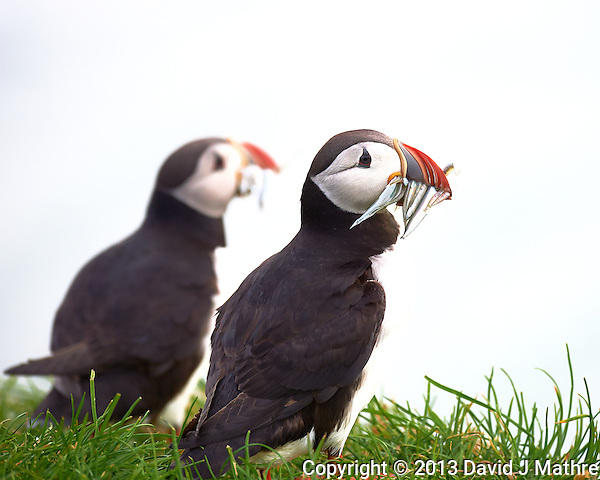 Pair of Puffins Image taken with a Nikon D4 and 80-400 mm VR II lens (ISO 720, 330 mm, f/5.6, 1/1000 sec). (David J Mathre)