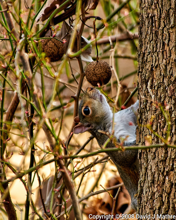 Squirrel checking out a sycamore seed. Late winter backyard nature in New Jersey. Image taken with a Nikon D300 camera and 80-400 mm VR lens (ISO 640, 400 mm, f/5.6, 1/250 sec). (David J Mathre)