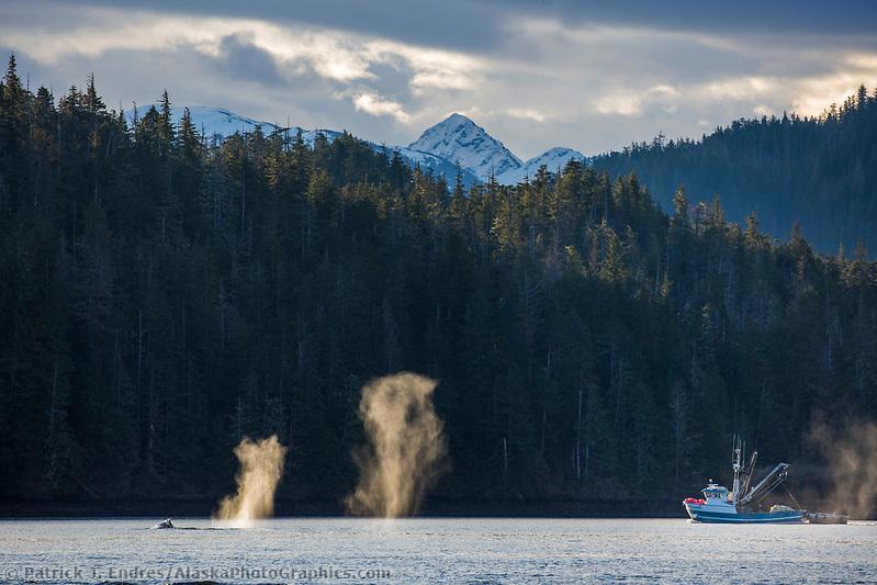 Humpback whales feed on Herring in the Sitka Sound area, southeast, Alaska. (Patrick J Endres / AlaskaPhotoGraphics.com)