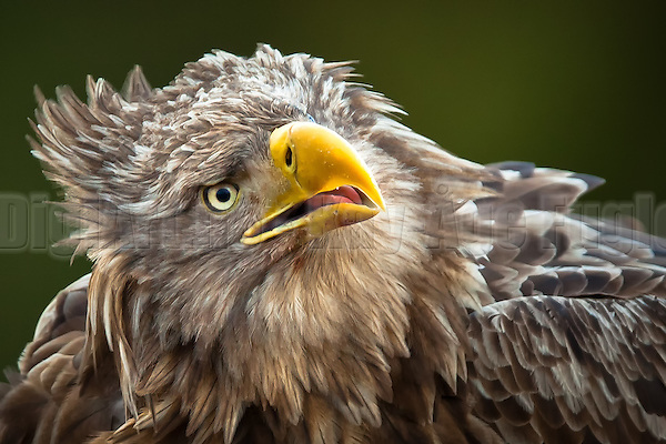 Nærportrett av Havørn | Closeup portrait of White-tailed Eagle (Kay-�ge Fugledal)