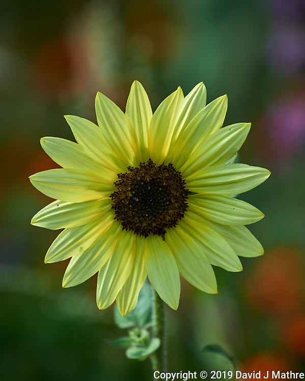 Sunflower. Image taken with a Nikon D5 camera and 80-400 mm VRII lens (ISO 320, 400 mm, f/5.6, 1/800 sec). (DAVID J MATHRE)