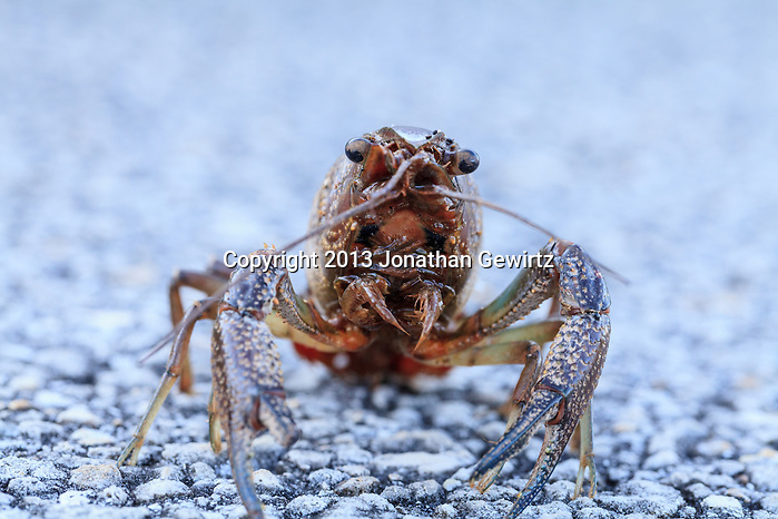 Closeup view of a crayfish, probably a Procambarus allen or Blue Crayfish, on a paved path in the Shark Valley section of Everglades National Park, Florida. (Jonathan Gewirtz   jonathan@gewirtz.net)