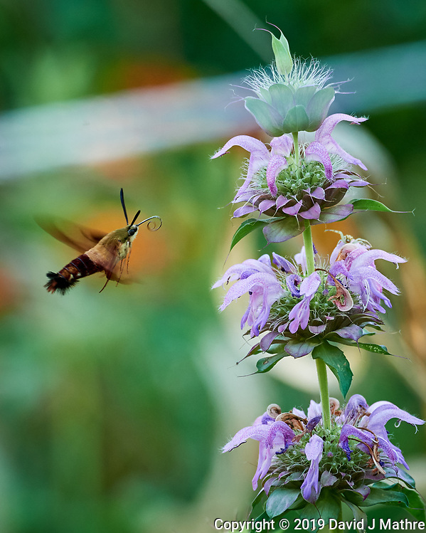 Hummingbird Clearwing moth attracted to a Lemon Mint flower. Image taken with a Nikon D5 camera and 80-400 mm VRII lens (ISO 1600, 400 mm, f/8, 1/320 sec). (DAVID J MATHRE)