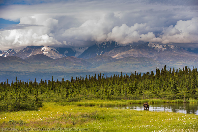 Cow moose stands in a tundra pond in the Alaska Range, Interior, Alaska. (Patrick J. Endres / AlaskaPhotoGraphics.com)
