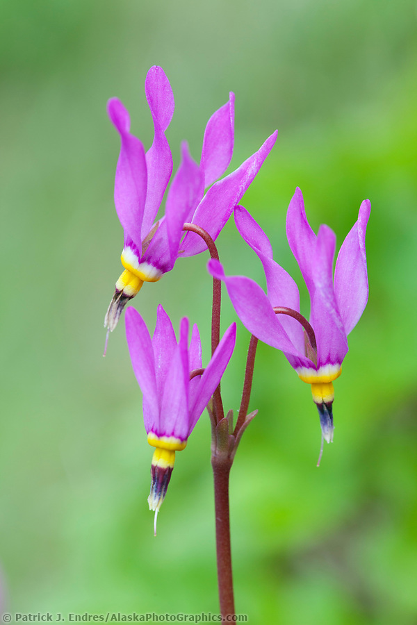 Alaska wildflower photos: Bright pink blossoms of shooting star, Abercrombie state park, Kodiak Island, Alaska. (Patrick J. Endres / AlaskaPhotoGraphics.com)