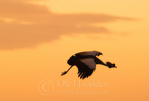 Grey Crowned Crane (Balearica regulorum) in Masai Mara, Kenya (Ole Jørgen Liodden)