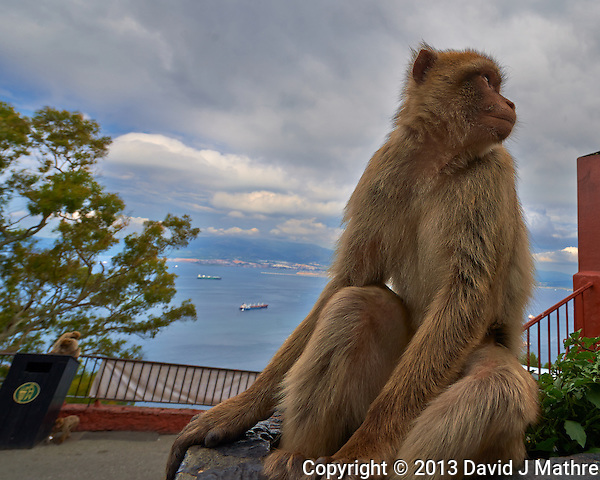 Gibraltar Monkey (Barbary macaques) on top of the Rock of Gibralter. Image taken with a Nikon D4 and 14-24 mm f/2.8 lens (ISO 100, 14 mm, f/8. 1/250 sec). Semester at Sea Spring 2013 Enrichment Voyage. (David J Mathre)