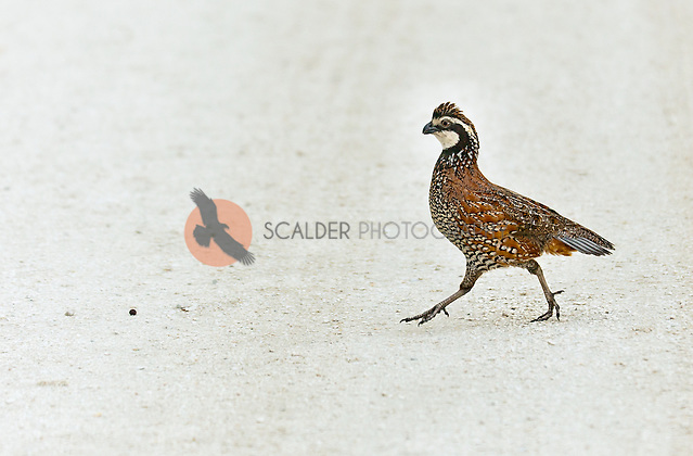 Male Northern Bobwhite prancing, mid step across a dirt road (sandra calderbank)