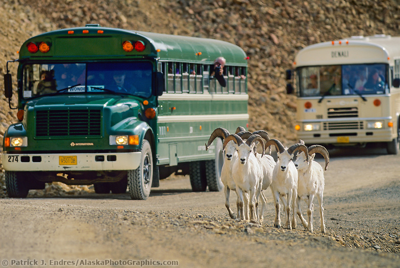 Dall sheep rams, Denali Park road, tourists watch from Park buses, Polychrome Pass, Denali National Park, Alaska. (Patrick J. Endres / AlaskaPhotoGraphics.com)