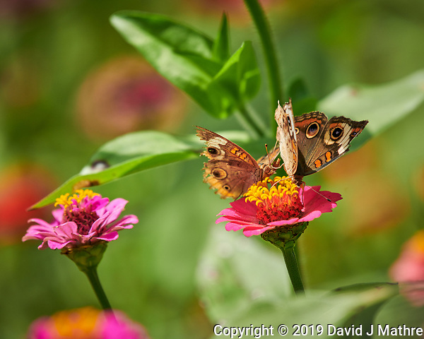 Pair of Frisky Common Buckeye Butterflies on a Zinnia Flower. Image taken with a Nikon D850 camera and 200-500 mm f/5.6 VR lens (ISO 320, 500 mm, f/5.6, 1/1000 sec). (DAVID J MATHRE)