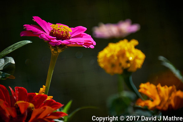 Autumn flowers in my garden. Image taken with a Fuji X-T2 camera and 100-400 mm OIS telephoto zoom lens (ISO 200, 400 mm, f/5.6, 1/420 sec). (David J Mathre)