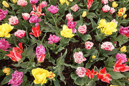 Variety of tulips, Roozengaarde gardens, Mount Vernon, Skagit Valley, Washington, USA (Copyright Brad Mitchell Photography.9601 Wall St.Snohomish, WA 98296.USA.425-418-7279.brad@bradmitchellphoto.com)