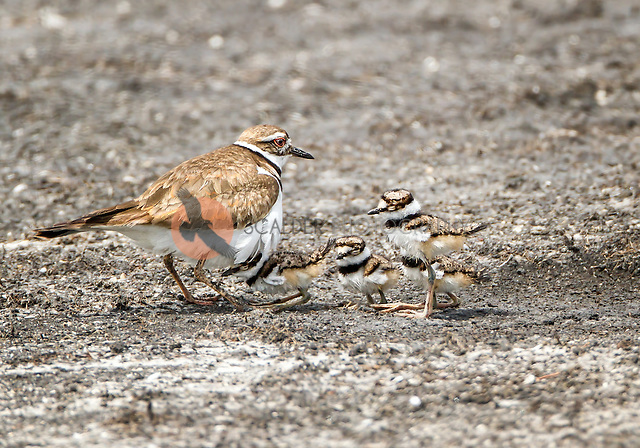 Killdeer with four chicks, one chick is hiding under adult (Sandra Calderbank, sandra calderbank)