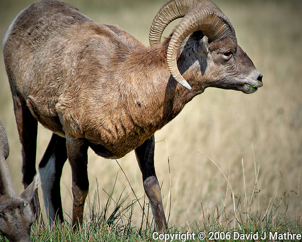 Bighorn Sheep Eating Grass at Badlands National Park. Image taken with a Nikon D200 camera and 80-400 mm VR lens (ISO 100, 400 mm, f/5.6, 1/320 sec). (David J Mathre)