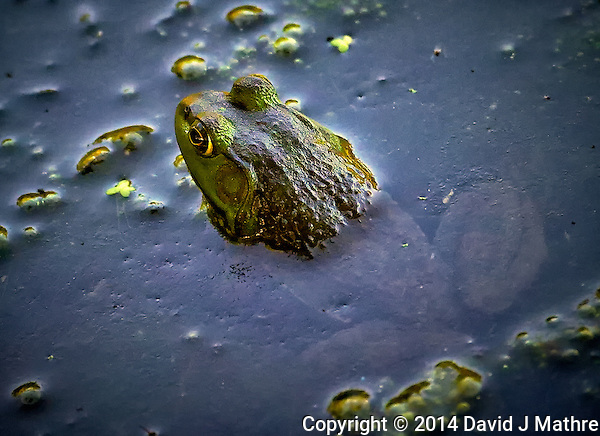 Frog at a Pond in the Sourland Mountain Preserve in New Jersey. Image taken with a Nikon D3s camera and 80-400 mm VR II lens (ISO 5600, 400 mm, f/5.6, 1/2000 sec). Raw image processed with Capture One Pro, Focus Magic, and Photoshop CC. (David J Mathre)