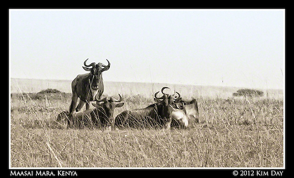 Wildebeests.Maasai Mara, Kenya.September 2012 (Kim Day)