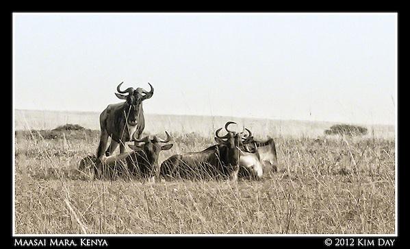 Wildebeests.Maasai Mara, Kenya.September 2012 (Kim Day)