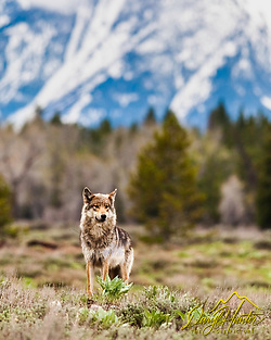 Grey Pacific Creek Wolf, Grand Teton National Park 