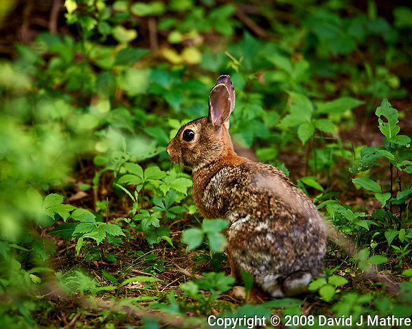 Harvey the rabbit trying to hide. Backyard spring nature in new Jersey. Image taken with a Nikon D3 camera and 200 mm f/2 telephoto lens and TC-E II 2x teleconverter (ISO 1600, 400 mm, f/4, 1/640 sec). (David J Mathre)