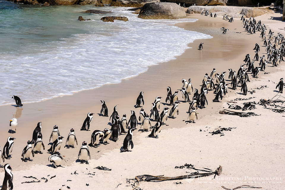 Boulders Beach near Cape Town in South Africa has a colony of African Penguins which settled there in 1982    <div title=