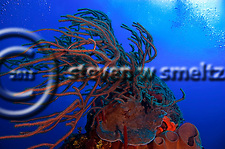 Soft and Hard Coral on Pinnacle Grand Cayman (Steven Smeltzer)