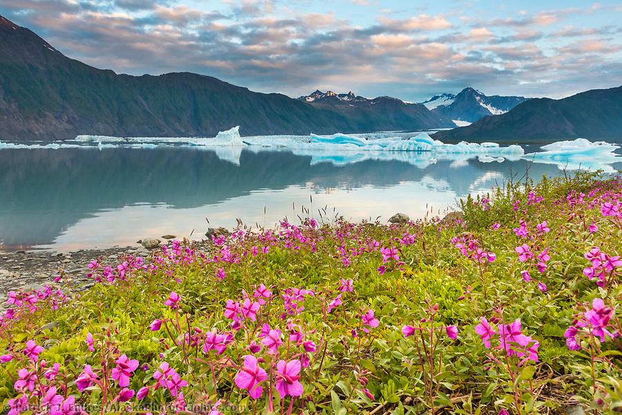 Alaska glacier photos: Dwarf fireweed and icebergs in Bear Glacier Lagoon, Kenai Fjords National Park, southcentral, Alaska. (Patrick J Endres / AlaskaPhotoGraphics.com)