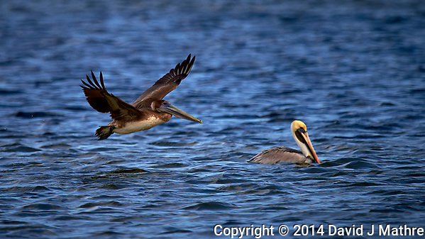 Pair of Brown Pelicans, One Flying the Other Floating in the Water. Merritt Island National Wildlife Refuge in Florida. Image taken with a Nikon Df camera and 600 mm f/4 VR lens (ISO 100, 600 mm, f/4, 1/1600 sec). (David J Mathre)